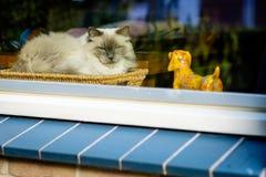 Встречайте Борис, кот Ragdoll лежа в корзине спешкы Стоковые Фото