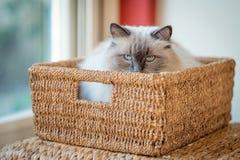 Встречайте Борис, кот Ragdoll лежа в корзине спешкы Стоковое фото RF