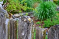 Встречать 2 больших улиток на загородке Стоковое Фото
