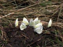 Встречать нескольк белизна капусты Butterflys Стоковое Фото