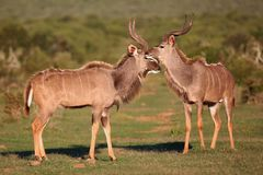 Встреча антилопы Kudu Стоковое фото RF