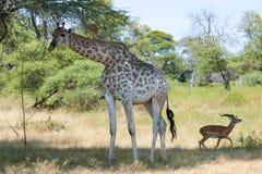 Встреча жирафа и вспугнутой импалы Стоковое Изображение