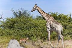 Встреча жирафа и вспугнутой импалы Стоковые Фотографии RF