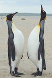 Встреча короля пингвинов на песчаном пляже Стоковые Фото