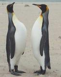 Встреча короля пингвинов на песчаном пляже Стоковое Фото