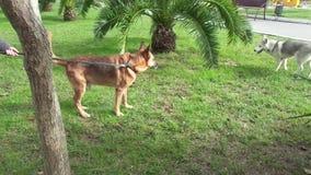 Встреча 2 собак в парке видеоматериал