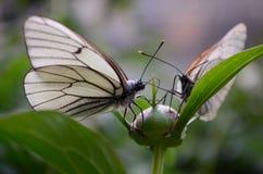 встреча butterflys Стоковое фото RF