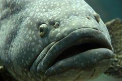 встреча grouper Стоковые Изображения RF