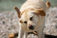 Встряхивание собаки стоковое изображение rf