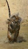 Встряхивание тигра Бенгалии капания Стоковое Изображение
