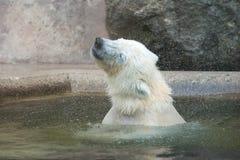 Встряхивания полярного медведя стоковое фото