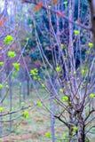 Всходы дерева шелковицы саженц-зеленые Стоковое Изображение