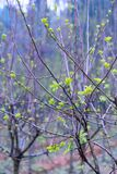 Всходы дерева шелковицы саженц-зеленые Стоковое Изображение RF