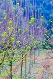 Всходы дерева шелковицы саженц-зеленые Стоковые Изображения