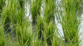 Всходы зеленого цвета риса акции видеоматериалы