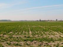 Всходы озимой пшеницы стоковое изображение rf