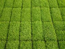 всходы риса Стоковое Фото