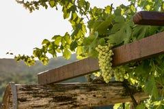 Всход двора вина стоковые изображения rf