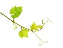 всход изолированный виноградным вином Стоковое Изображение RF