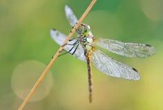 всход макроса dragonfly Стоковые Фотографии RF