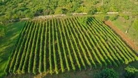 Всход виноградника воздушный круговой Стоковое Фото