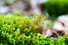 Всход макроса зеленого мха Стоковые Фотографии RF