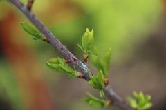 Всходы весны на ветви дерева Стоковые Фото