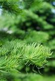 Всходы детенышей на ветвях спруса Стоковые Изображения