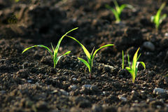 всходы зеленого цвета поля Стоковое Фото