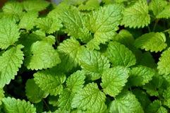 Всходы зеленого цвета бальзама лимона Стоковые Изображения