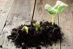 Всходы зеленого цвета на различных этапах роста стоковое изображение