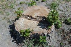 Всходы зеленого цвета на старом большом пне дерева тополя Стоковое Изображение