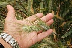 Всходы зеленого цвета пшеницы стоковая фотография rf