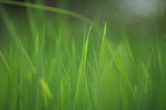 Всходы зеленого цвета риса стоковое фото rf