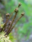 Всходы папоротника поднимая весной Стоковая Фотография