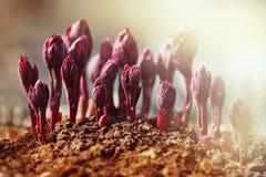 Всходы пиона весной в солнечности Стоковое Изображение