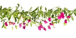 Всходы цвести розовый горох на белой предпосылке Стоковые Фото