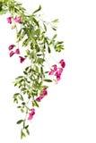 Всходы цвести розовый горох на белой предпосылке Стоковая Фотография RF