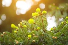 всходы spruce детеныши Стоковое Изображение