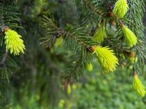 всходы spruce детеныши Стоковое фото RF