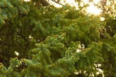 всходы spruce детеныши Стоковые Изображения RF