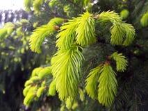 всходы spruce детеныши Стоковые Фото