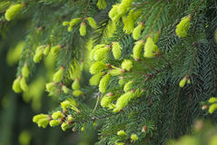 всходы spruce детеныши Стоковые Изображения