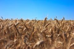 Вся пшеница Стоковые Изображения RF