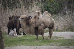 Вся семья Bactrian верблюда Стоковые Изображения RF