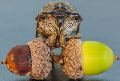 Вторгнутый жолудь Стоковая Фотография RF