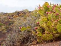 Вулканическая вегетация в парке страны Teno на Тенерифе Стоковое фото RF