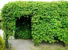 Вход к tonal или лабиринту созданным от переплетаннсяых ветвей лианы или виноградин Стоковое фото RF