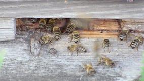 Вход к деревянной крапивнице пчелы, цветень пчелы, заводы меда приносит видеоматериал