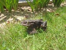 Въетнамская лягушка стоковые фотографии rf